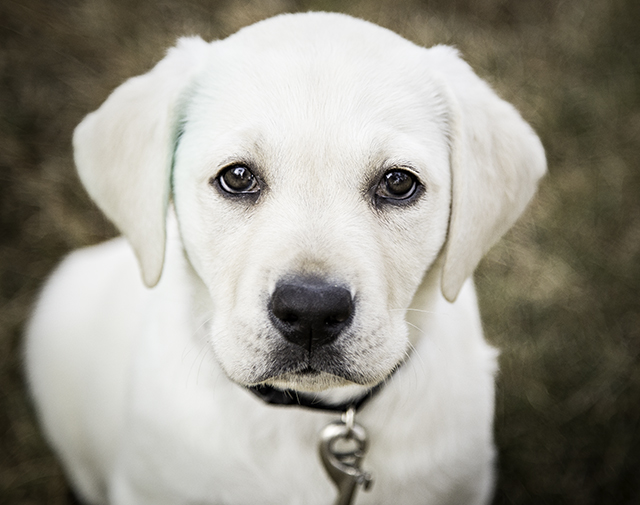 Lifestyle family portraits, our service puppy in training